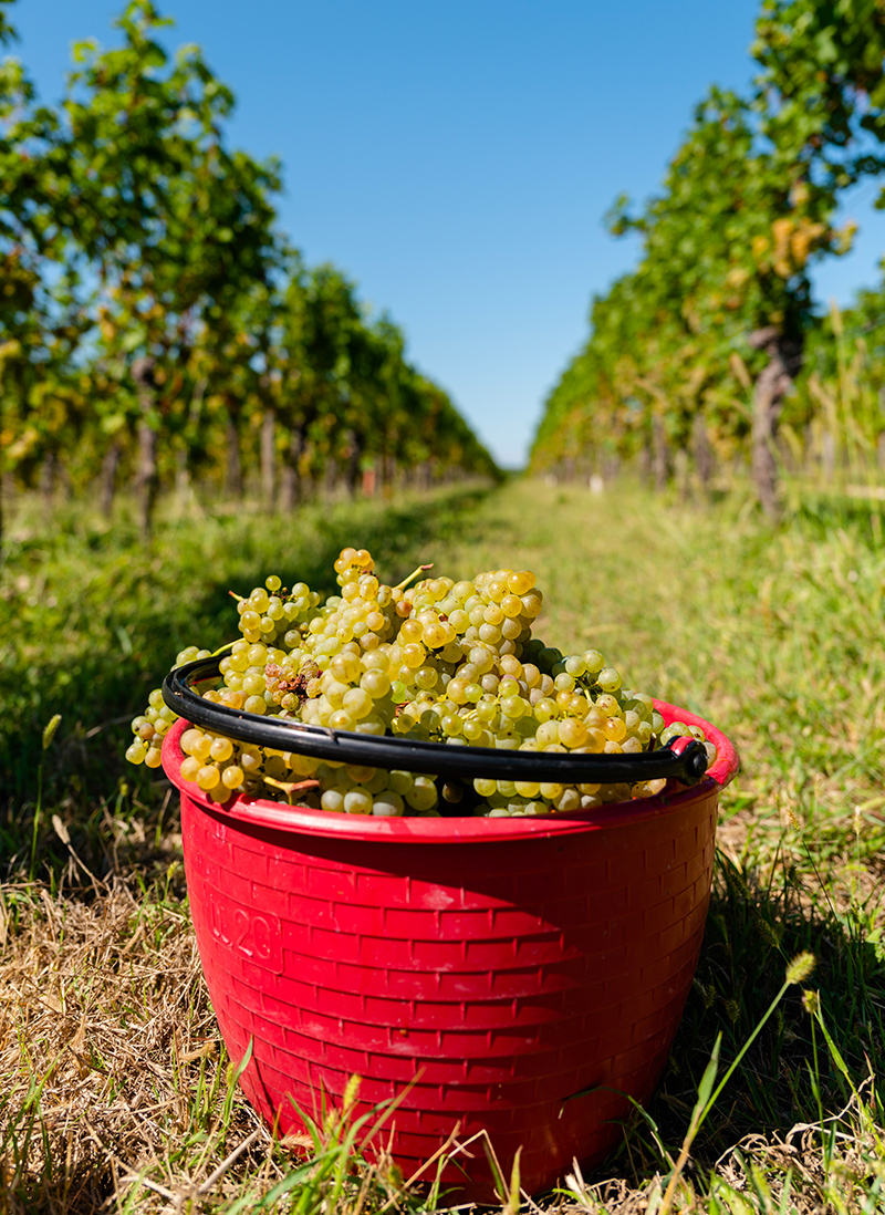 bucovaz_wine_vino_friuli_friulano_03